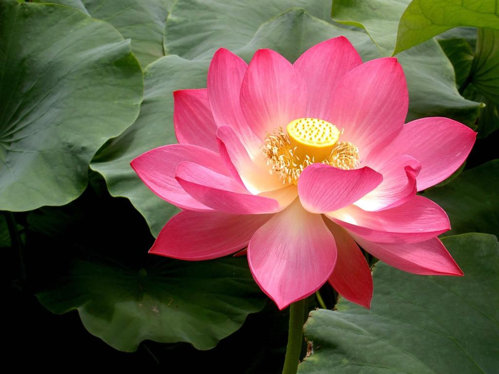 National flower of india images hd wallpaper lotus the national flower of india source national flower india in hindi flowers healthy mightylinksfo