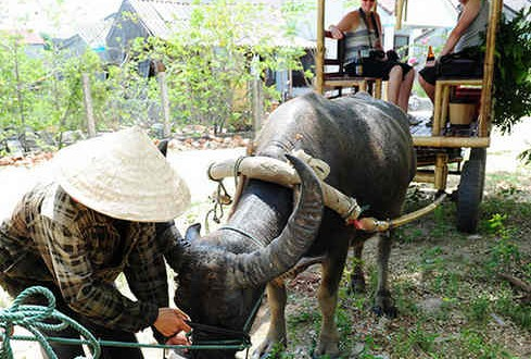 Explore Hoi An countryside with buffalo tour - Travel information for Vietnam from local experts