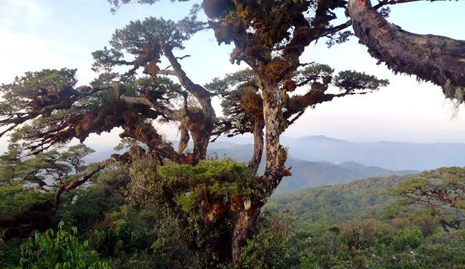 old-tree-ngoc-linh