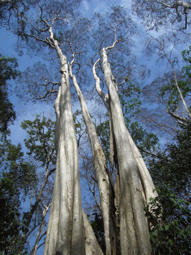 largerstromia-ovalfolia