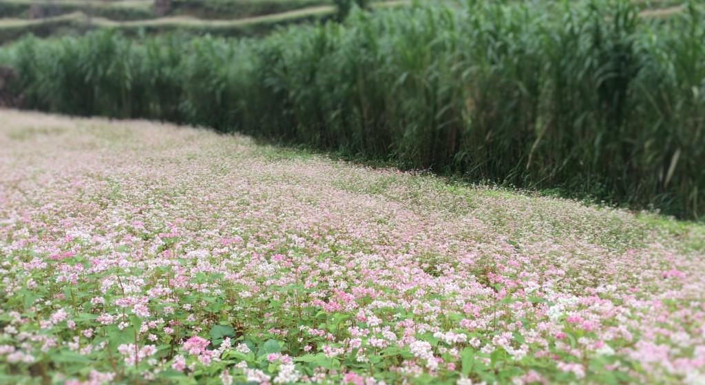 A small tam giac mach flower field