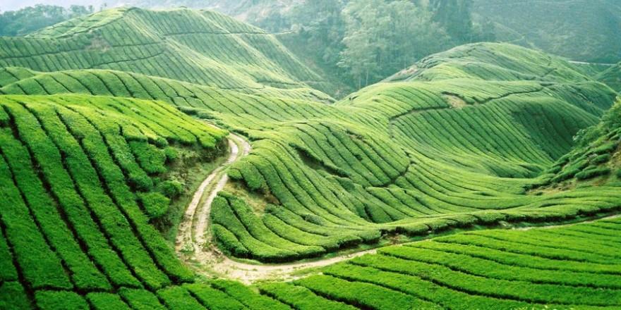tea-hills-moc-chau