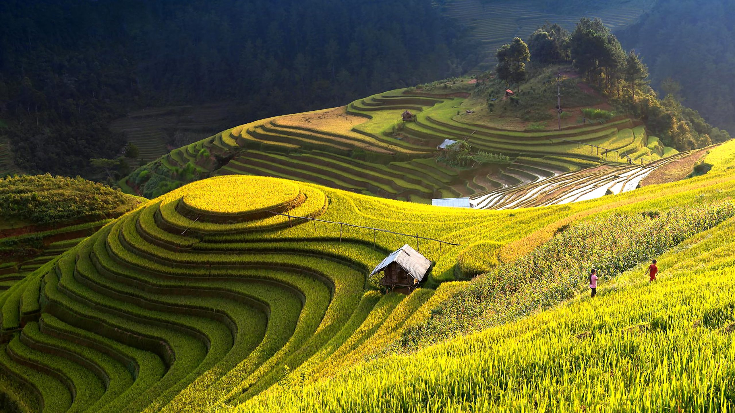 Green and Golden Rice Terraces in Tay Nguyen